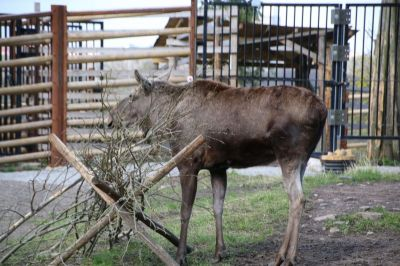 A real elk in the Skansen park